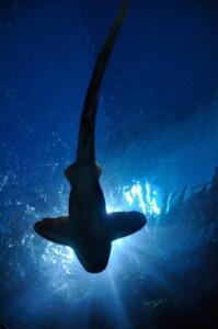 Olej z wątroby rekina - źródło witaminy D