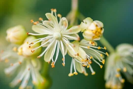 Kwiat Lipy właściwości Filar Zrowia